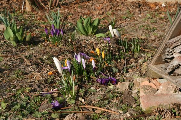 Die ersten Frühlingsblumen bei uns im Garten